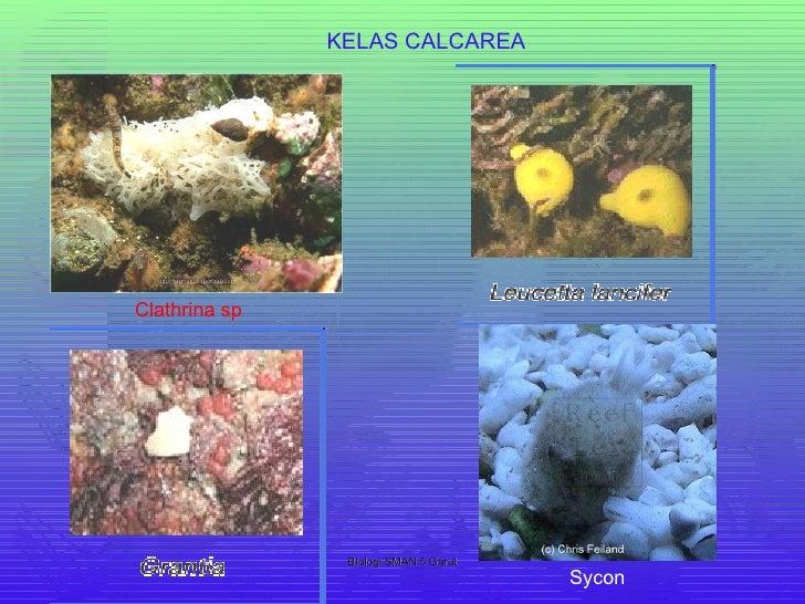 106+ 5 Gambar Hewan Porifera Gratis Terbaik