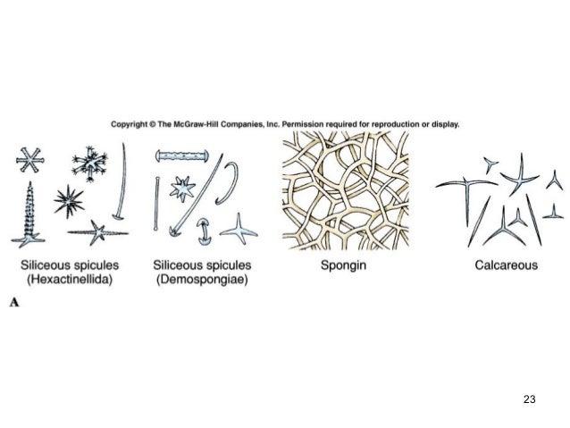 Zoology- Phylum Porifera | 638 x 479 jpeg 43kB