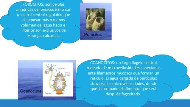 POROCITOS: son células cilíndricas del pinacodermo con un canal central regulable que deja pasar más o menos volumen del a...