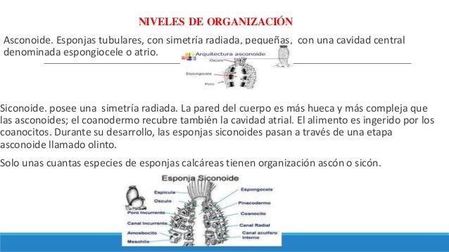 NIVELES DE ORGANIZACIÓN Asconoide. Esponjas tubulares, con simetría radiada, pequeñas, con una cavidad central denominada ...