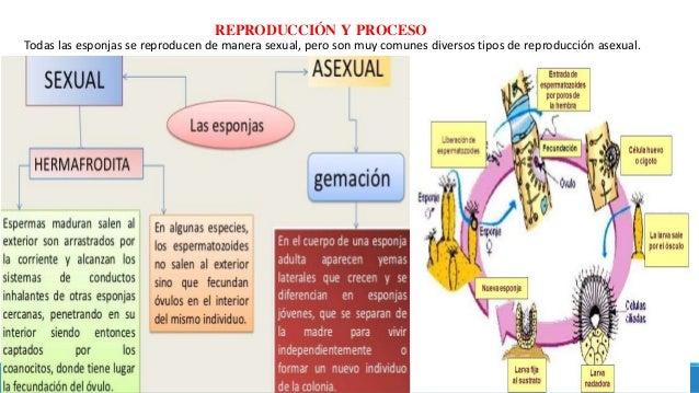 REPRODUCCIÓN Y PROCESO Todas las esponjas se reproducen de manera sexual, pero son muy comunes diversos tipos de reproducc...