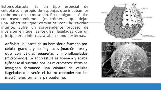 Estomoblástula. Es un tipo especial de celoblástula, propio de esponjas que incuban los embriones en su mesohilo. Posee al...