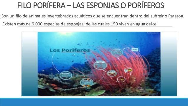 FILO PORÍFERA – LAS ESPONJAS O PORÍFEROS Son un filo de animales invertebrados acuáticos que se encuentran dentro del subr...