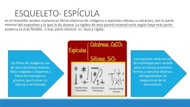ESQUELETO- ESPÍCULA en el mesohilo existen numerosas fibras elásticas de colágeno y espículas silíceas o calcáreas, son la...
