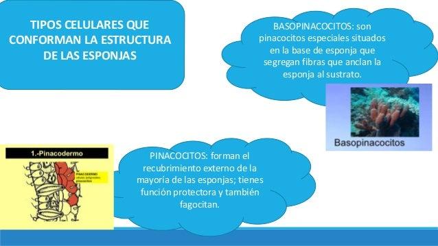 TIPOS CELULARES QUE CONFORMAN LA ESTRUCTURA DE LAS ESPONJAS PINACOCITOS: forman el recubrimiento externo de la mayoría de ...