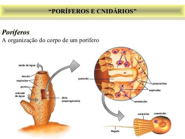 """""""PORÍFEROS E CNIDÁRIOS""""  Poríferos  A organização do corpo de um porífero  porócito  pinacócitos  espículas  amebócito  co..."""