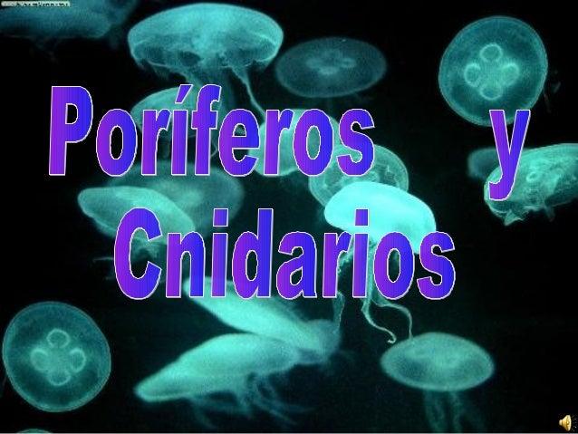 • Los poríferos y cnidarios son animales invertebrados ,protozoos y pluricelulares • Cnidarios: son animales acuáticos, su...