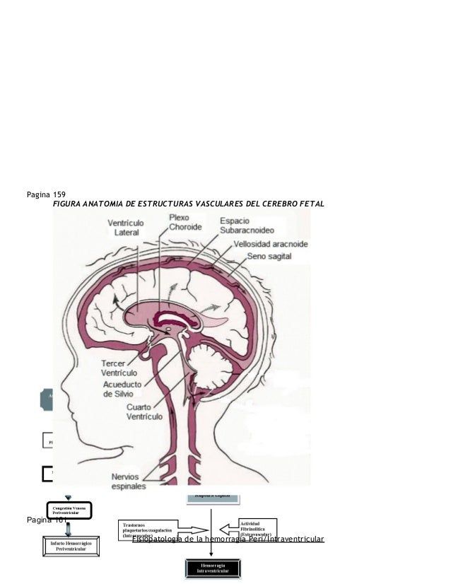 Perfecto Anatomía Matriz Germinal Ilustración - Imágenes de Anatomía ...