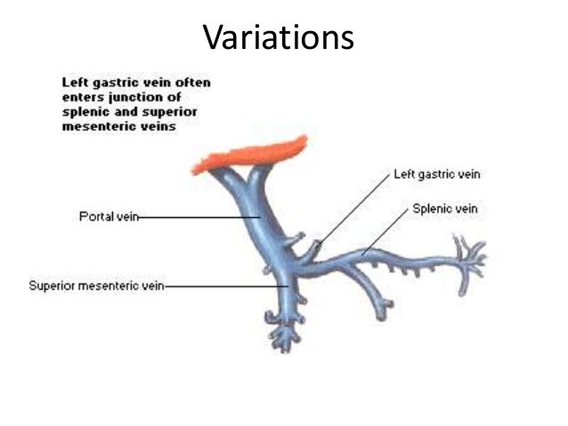 hepatic portal vein and portocaval anatomosis, Sphenoid