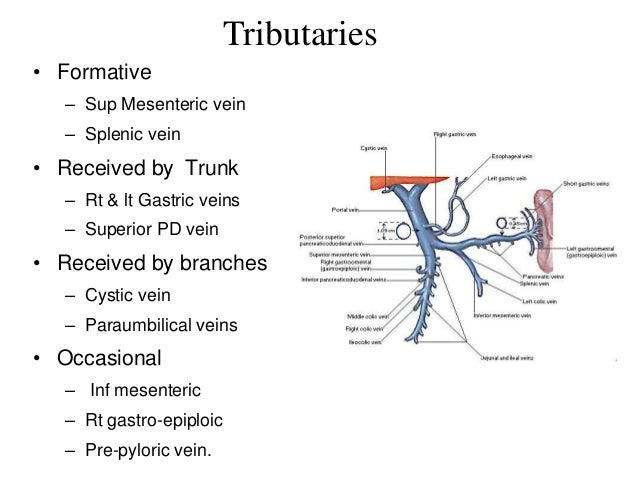 Hepatic Portal vein and portocaval anatomosis