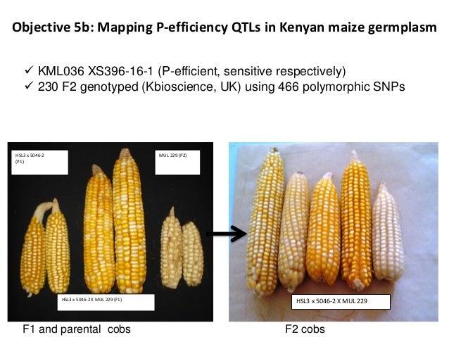 Objective 5b: Mapping P-efficiency QTLs in Kenyan maize germplasm HSL3 x 5046-2 X MUL 229 F2 cobs HSL3 x 5046-2 X MUL 229 ...