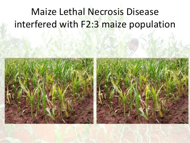 Maize Lethal Necrosis Disease interfered with F2:3 maize population