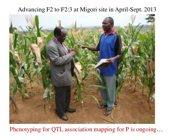 Phenotyping for QTL association mapping for P is ongoing… Advancing F2 to F2:3 at Migori site in April-Sept. 2013