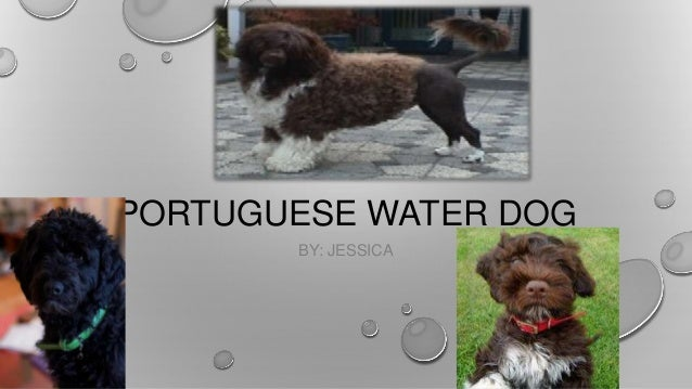 PORTUGUESE WATER DOG BY: JESSICA