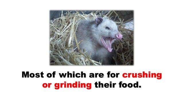 Possums Diet: Food That Wild Possums Eat