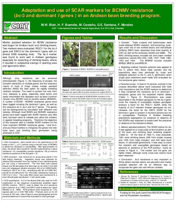 Adaptation and use of SCAR markers for BCNMV resistance               (bc-3 and dominant I genes ) in an Andean bean breed...
