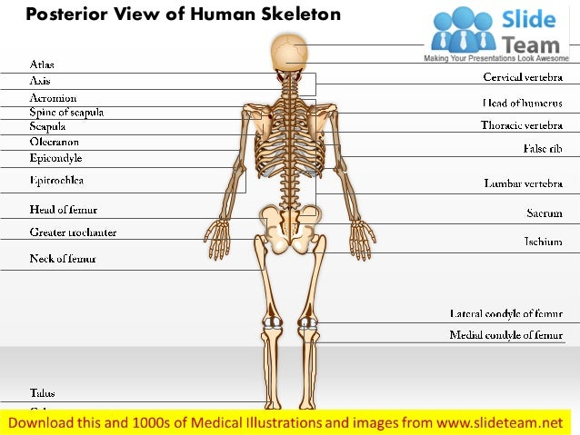 posterior view of human skeleton medical images for power point, Skeleton