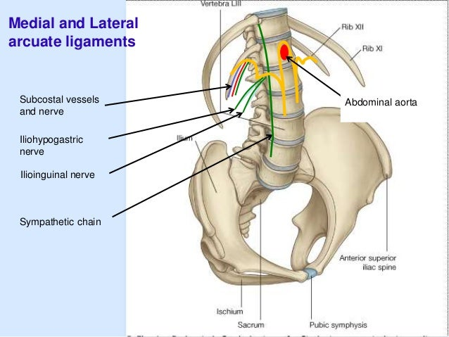 Posterior abdominal wall ilioinguinal nerve 26 organs in the posterior abdominal wall ccuart Images