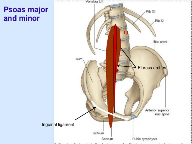 Posterior abdominal wall psoas major and minor fibrous arches inguinal ligament l1 ccuart Images