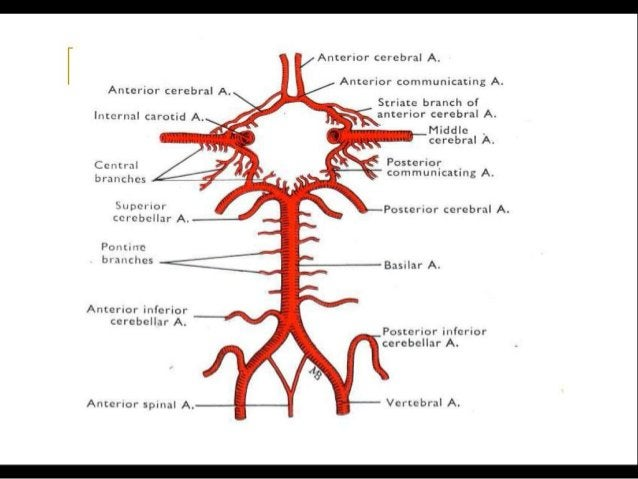 Posterior Cerebral Artery:- (PCA) • Terminal branch of the basilar artery • Paired • At the interpeduncular fossa • Branch...