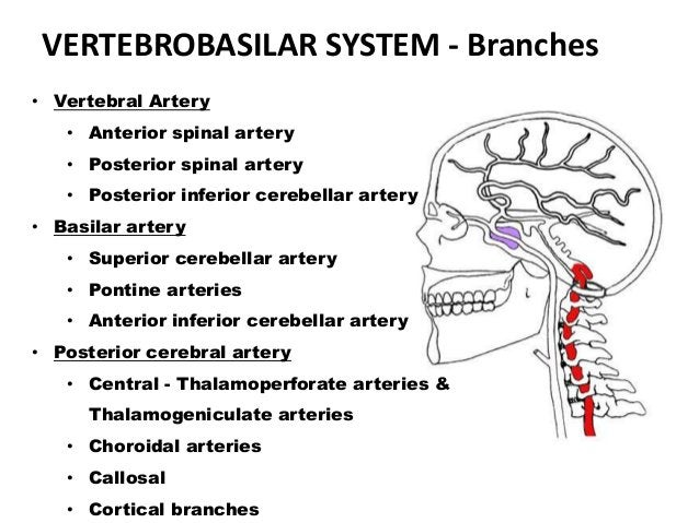 VERTEBROBASILAR SYSTEM - Branches • Vertebral Artery • Anterior spinal artery • Posterior spinal artery • Posterior inferi...