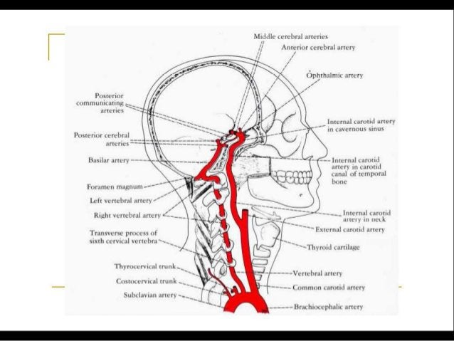 CIRCLE OF WILLIS – a note
