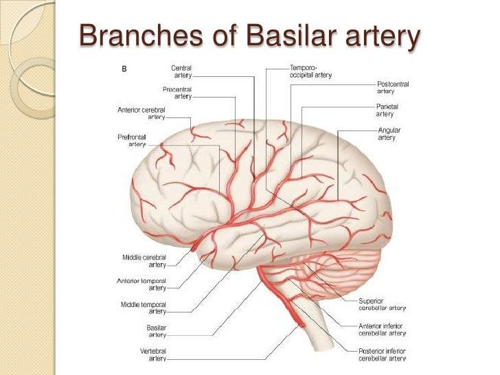 Cerebral Artery Brain Diagrams - Block And Schematic Diagrams •