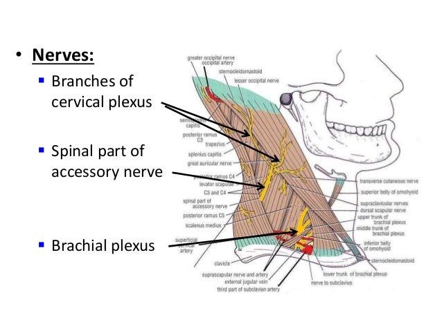 ... vein formation termination 15 veins external jugular vein tributaries External Jugular Vein Tributaries