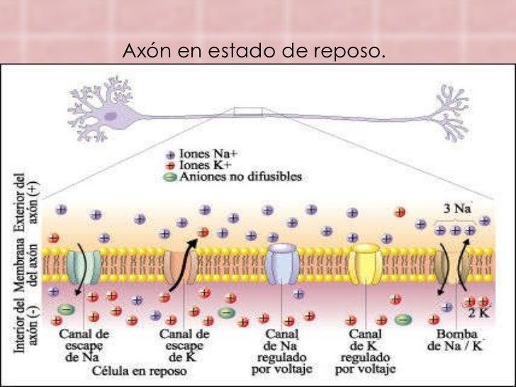 Potencial dereposoypotencialdeaccion