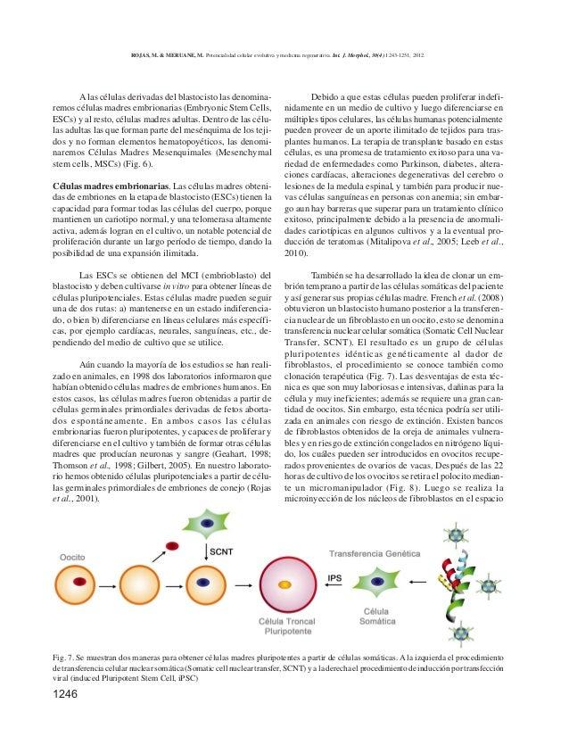 1246 A las células derivadas del blastocisto las denomina- remos células madres embrionarias (Embryonic Stem Cells, ESCs) ...
