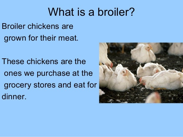 What is a broiler? Broiler chickens are grown for their meat. These chickens are the ones we purchase at the grocery store...