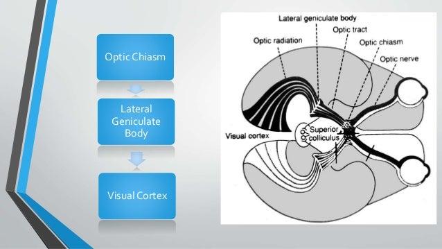 Optic Chiasm Lateral Geniculate Body Visual Cortex