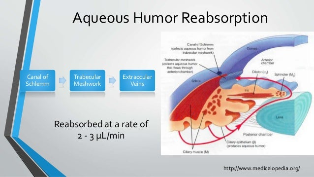 Aqueous Humor Reabsorption Reabsorbed at a rate of 2 - 3 μL/min http://www.medicalopedia.org/ Canal of Schlemm Trabecular ...