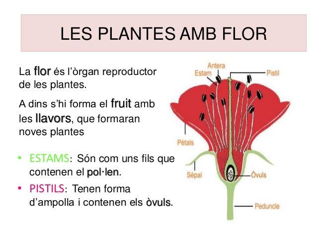 LES PLANTES AMB FLOR La flor és l'òrgan reproductor de les plantes. A dins s'hi forma el fruit amb les llavors, que formar...