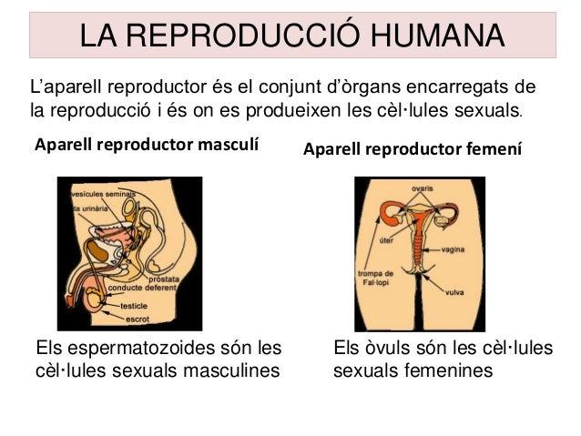 Aparell reproductor masculí Aparell reproductor femení LA REPRODUCCIÓ HUMANA Els espermatozoides són les cèl·lules sexuals...