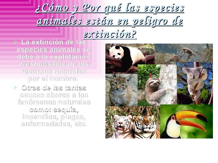 ¿Cómo y Por qué las especies animales están en peligro de extinción? <ul><li>La extinción de las especies animales se debe...