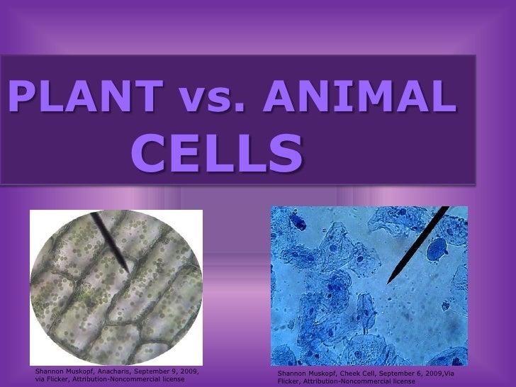 PLANT vs. ANIMAL        CELLS<br />Shannon Muskopf, Anacharis, September 9, 2009, via Flicker, Attribution-Noncommercial l...