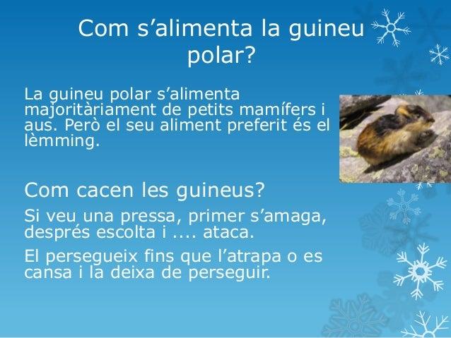 Hàbitat de les guineus polars Les guineus polars viuen en llocs molt freds. Al nord de la Terra. Viuen a: Alaska, Canadà,...