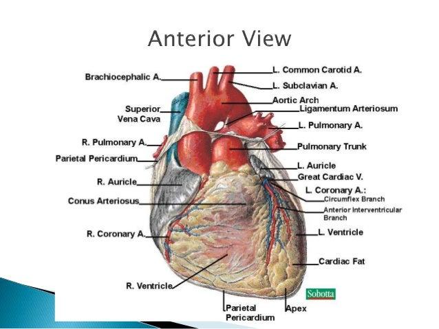  Posterior descending artery  ◦ Supplies posterior intraventricular sulcus   Has numerous smaller branches