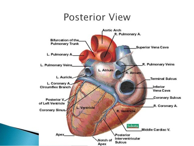 Power Point The Cardiovascular System Anatomy And Physiology