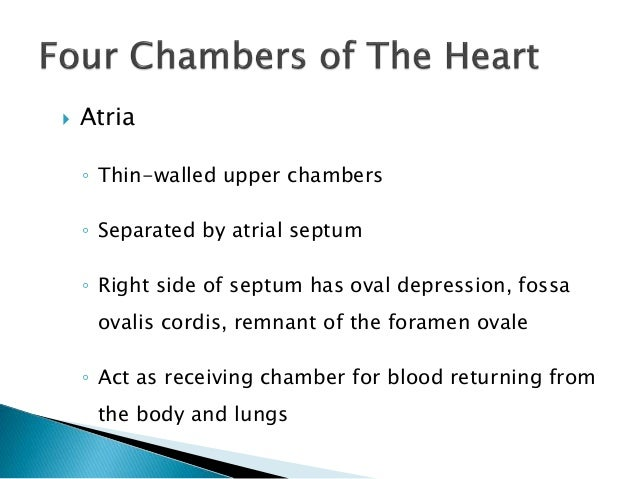  Atria  ◦ Thin-walled upper chambers  ◦ Separated by atrial septum  ◦ Right side of septum has oval depression, fossa  ov...
