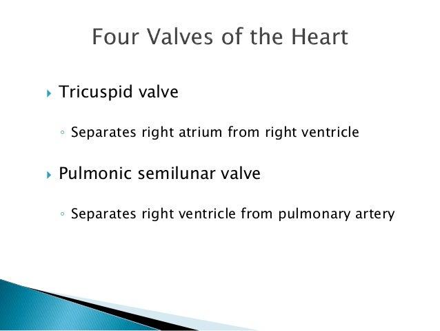  Tricuspid valve  ◦ Separates right atrium from right ventricle   Pulmonic semilunar valve  ◦ Separates right ventricle ...
