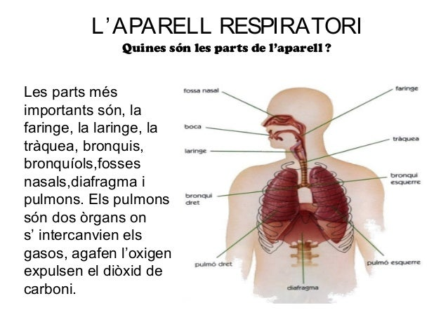 L' APARELL RESPIRATORI               Quines són les parts de l'aparell ?Les parts mésimportants són, lafaringe, la laringe...