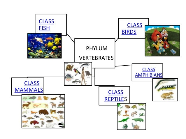 Image of: Laminated Class Class Fish Birds Phylum Vertebrates Class Amphibians Classmammals Class Reptiles Slideshare Powerpoint Animal Kingdom Summary