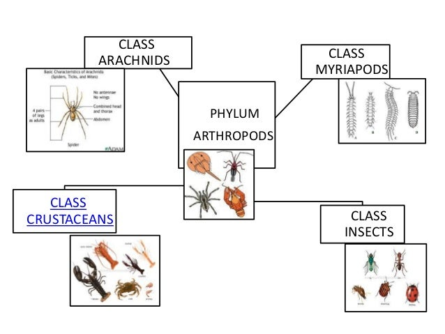 Image of: Diversity There Are Four Classes Of Arthropods 5 Unacademy Powerpoint Animal Kingdom Summary