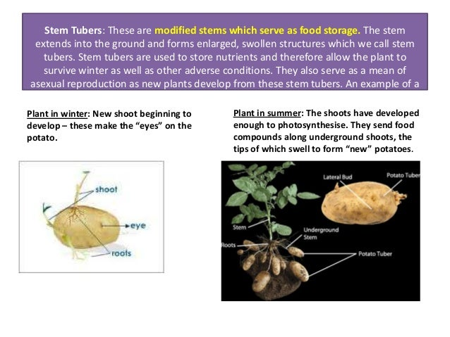 Asexual reproduction in plants notes