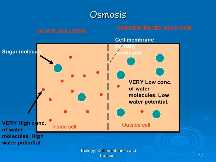 an analysis of the diffusion of water molecules in osmosis