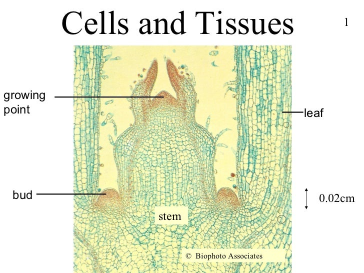 Cells and Tissues  leaf growing point bud stem ©   Biophoto Associates 0.02cm 1