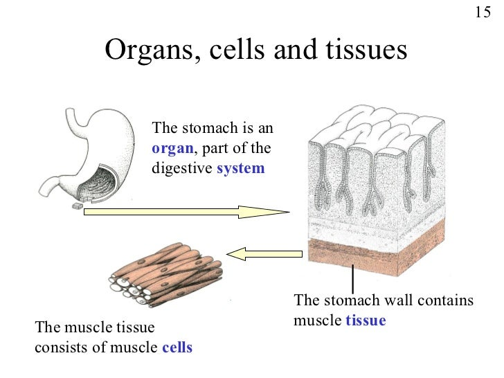 Tissue Cells Diagram Library Of Wiring Diagram