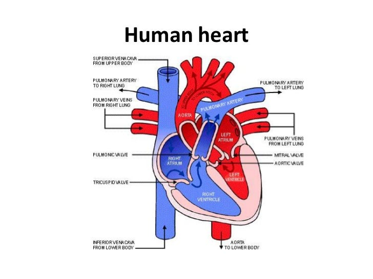 Powerpoint circulatory system